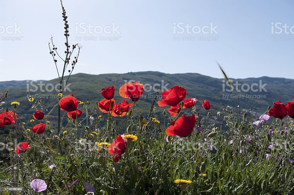 Poppy flowers in wild meadow Spain stock photo royalty-free stock photo