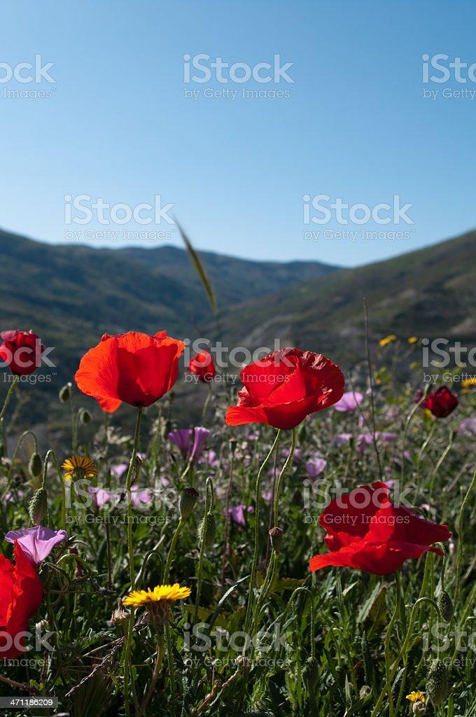 Poppy flowers in wild meadow Spain stock photo - poppies royalty-free stock photo