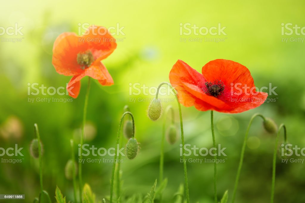 Poppy flowers isolated on green stock photo