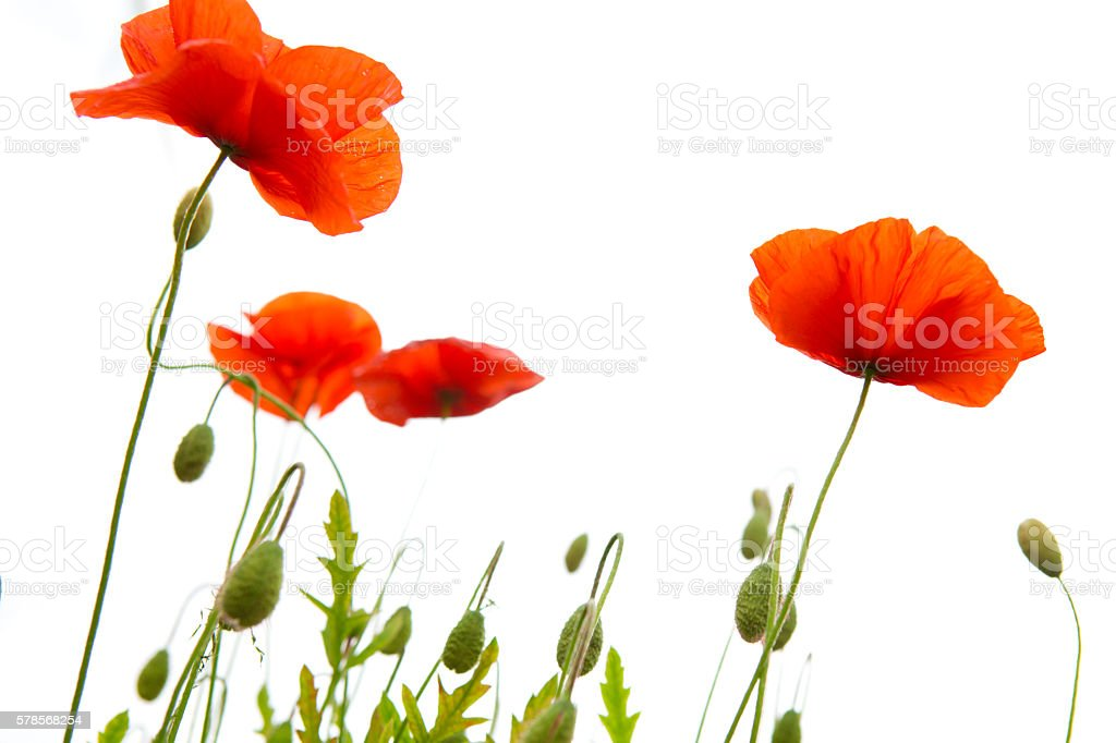 Poppy flowers isolated on white background stock photo