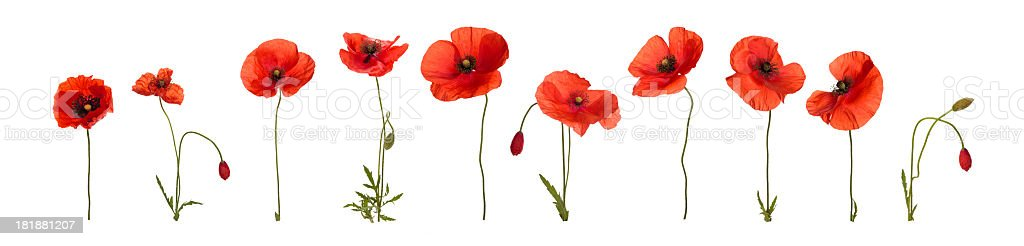 Poppy flowers. stock photo