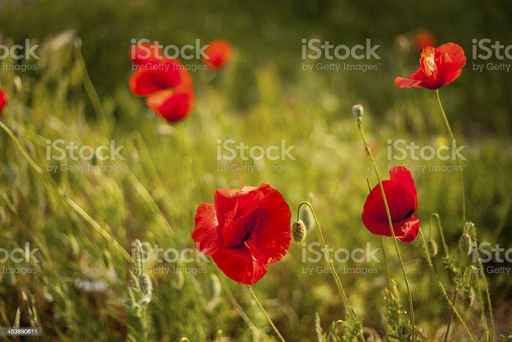 poppy flowers royalty-free stock photo
