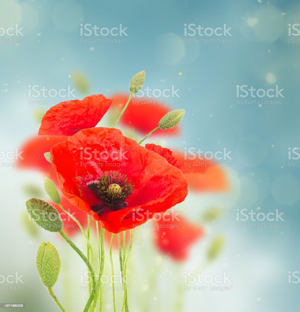 Poppy flowers stock photo