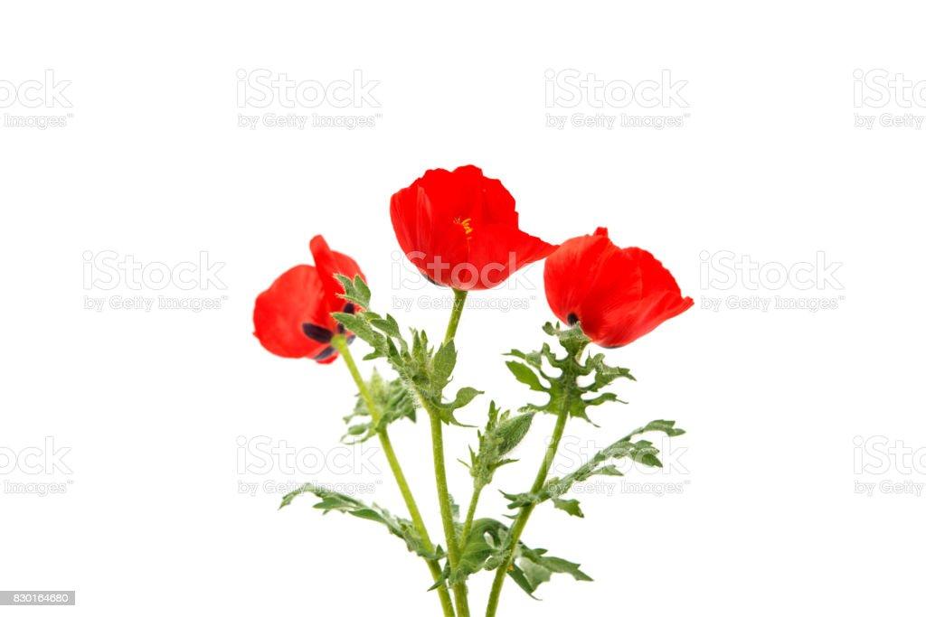 poppy flowers stock photo