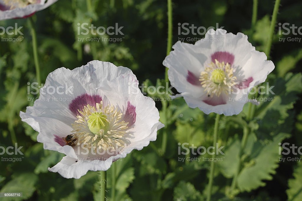 Poppy flowers royalty-free stock photo