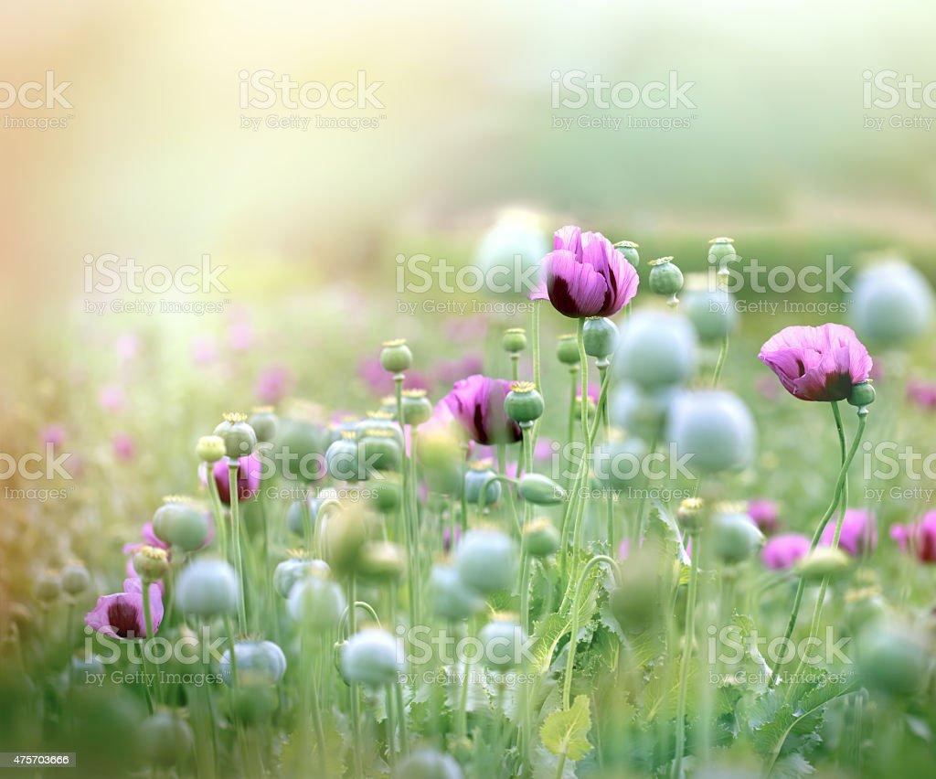 Poppy flowers - poppy field stock photo