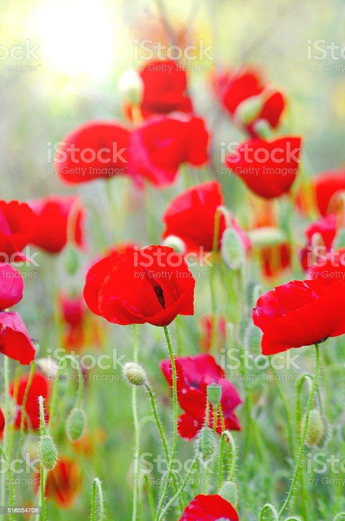 Poppy Flowers Sunlight stock photo