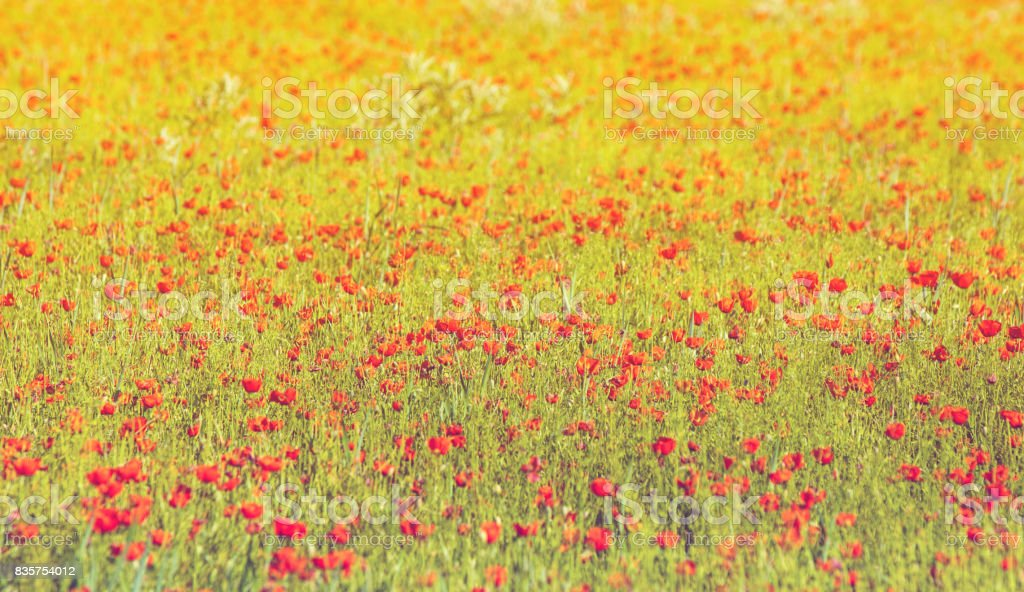Poppy flowers. The method of processing a blue gradient screen stock photo