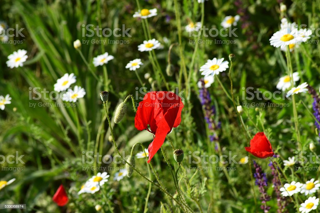 poppy flowers with daisies stock photo