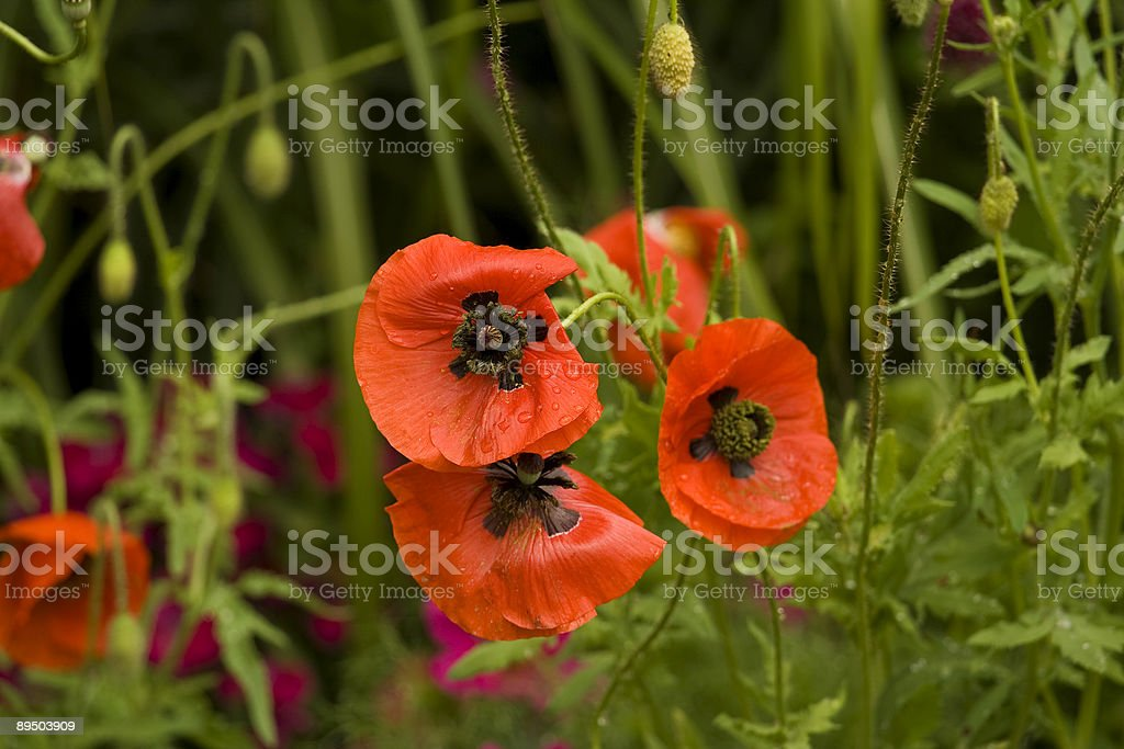 poppy flowers with drops of rain royalty-free stock photo