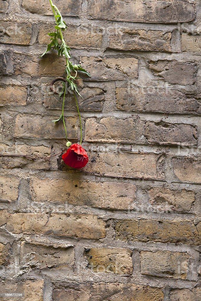 Poppy hangs on the Wall, Still Life royalty-free stock photo