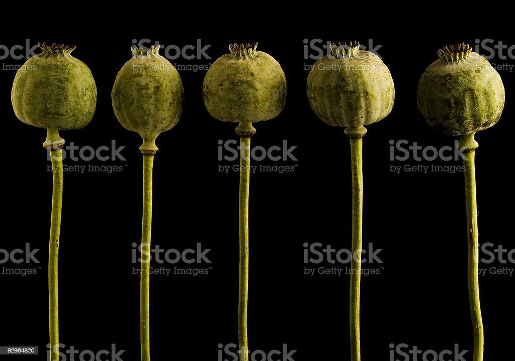 Poppy heads royalty-free stock photo