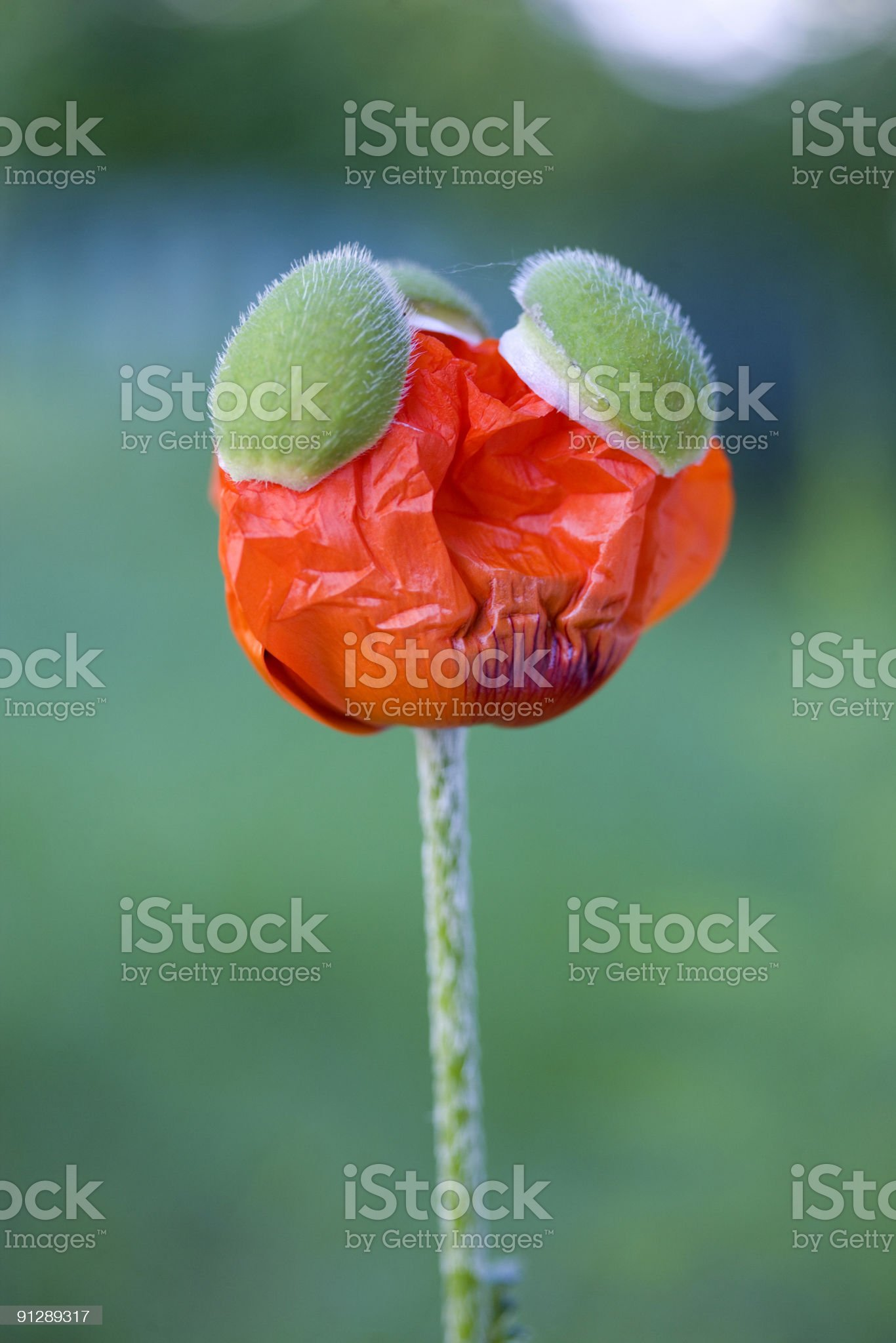 "Poppy ""Helen Elizabeth"" (Papaver orientale) royalty-free stock photo"