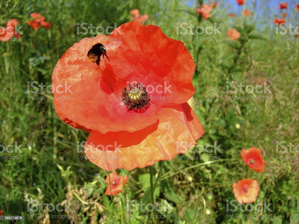 Poppy Humblebee royalty-free stock photo