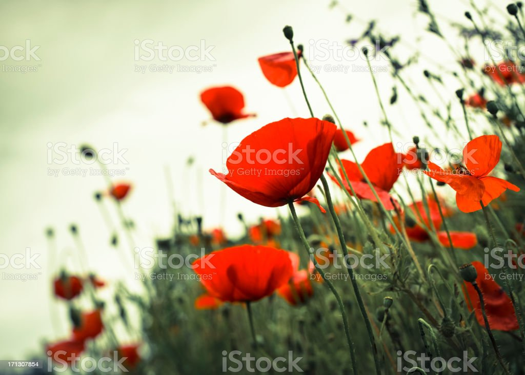 Poppy impression stock photo