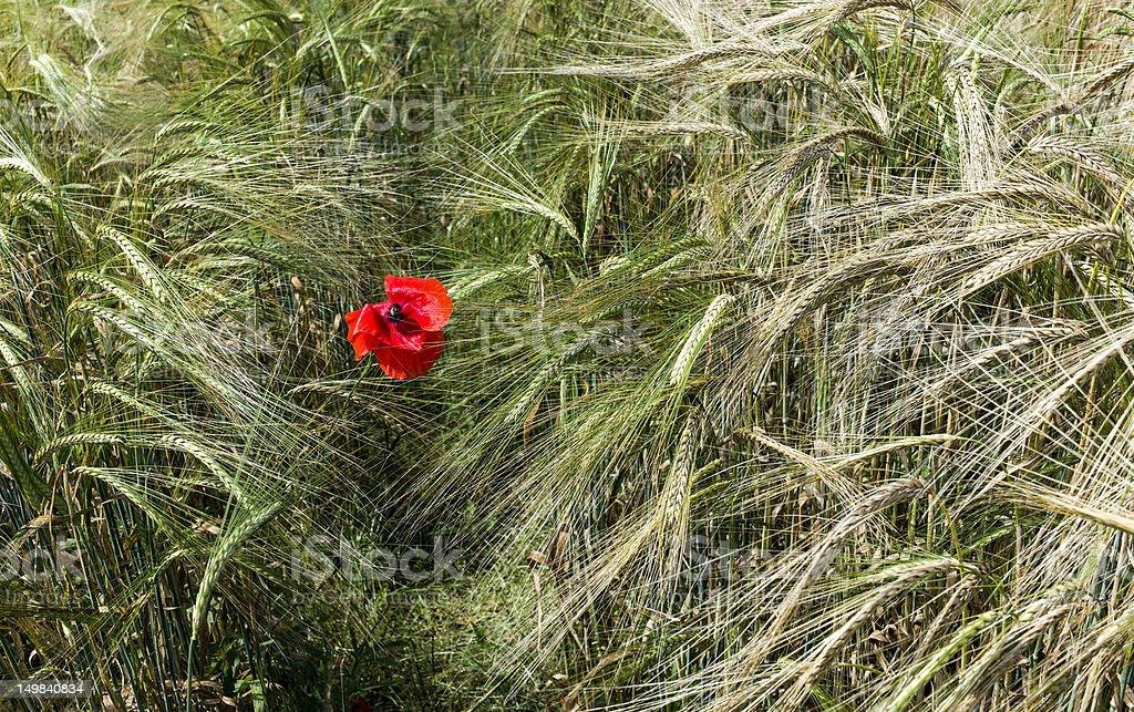 Poppy in a field of barley, Malton, North Yorkshire, UK stock photo