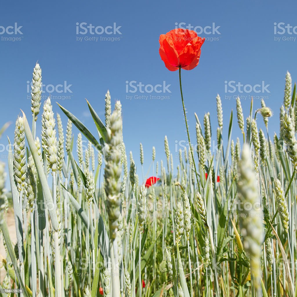 poppy in a field of wheat royalty-free stock photo