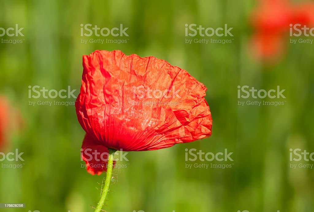 Poppy in a field royalty-free stock photo