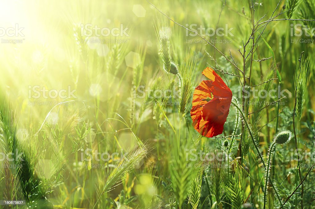 Poppy in a field royalty-free stock photo