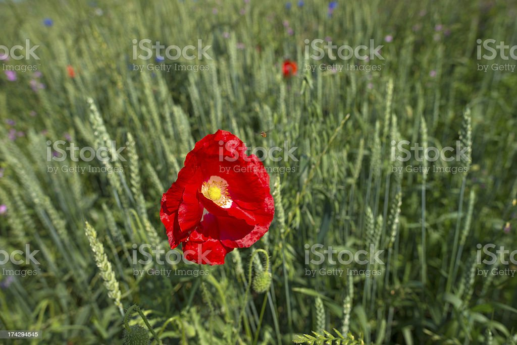 Poppy in a field with corn royalty-free stock photo