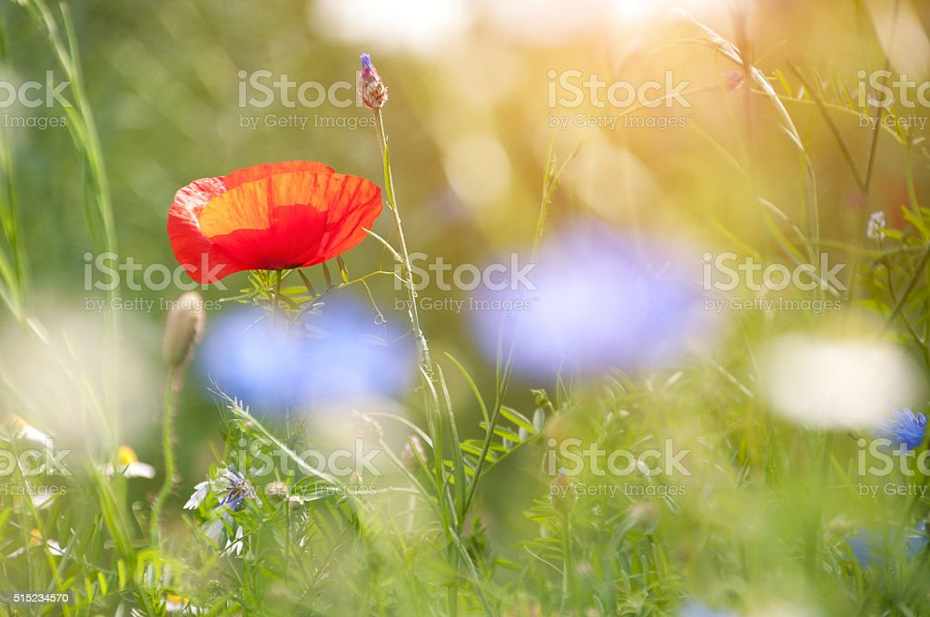 poppy in colorful meadow stock photo