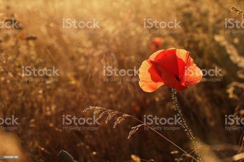Poppy in field at sunset in backlight stock photo