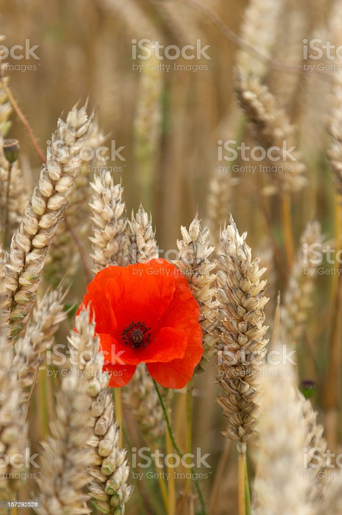 Poppy in field of wheat ears royalty-free stock photo