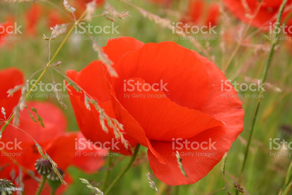 Poppy in field stock photo