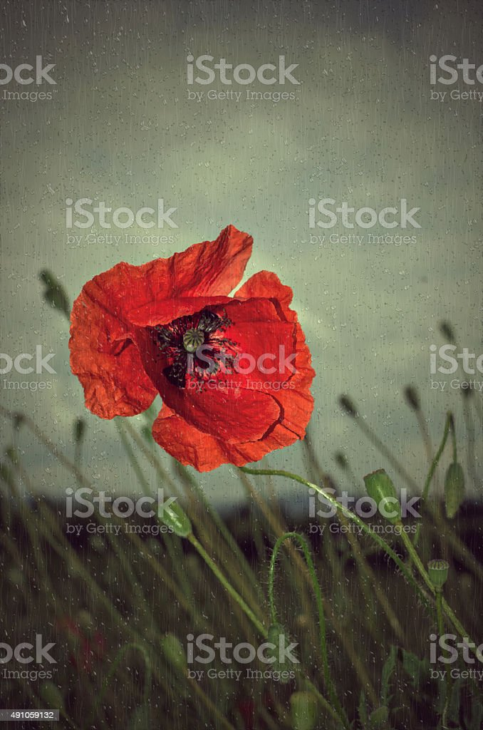 Poppy in rain stock photo