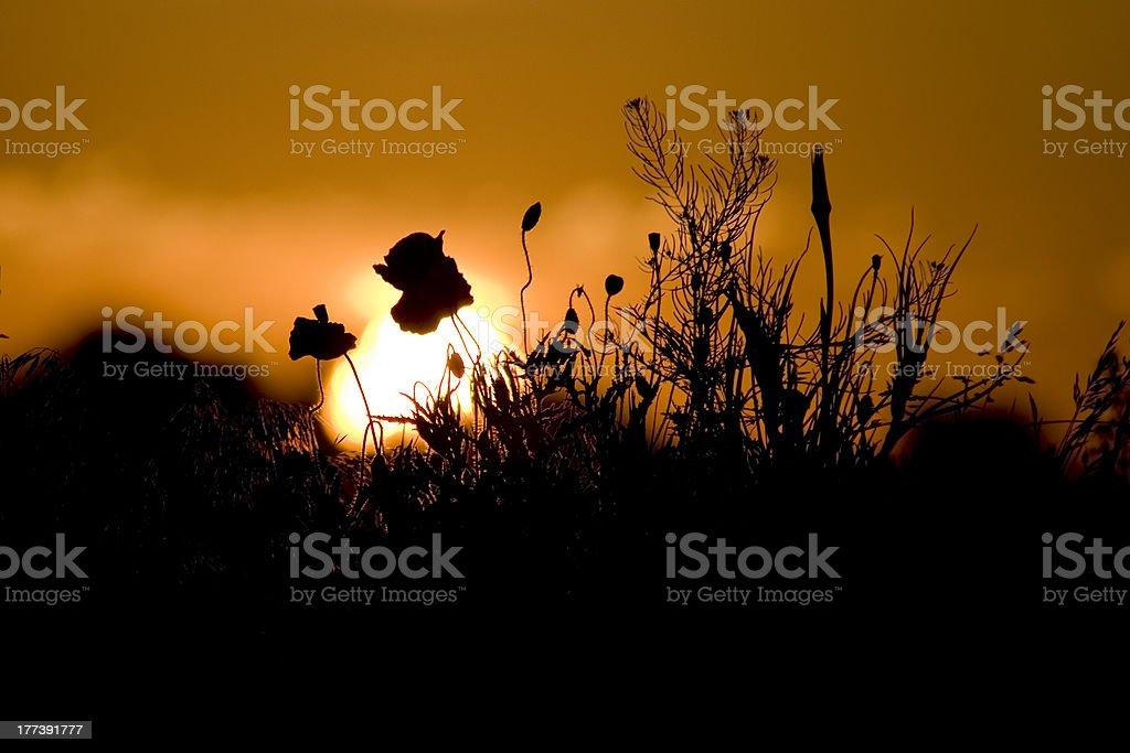 Poppy in sunset stock photo