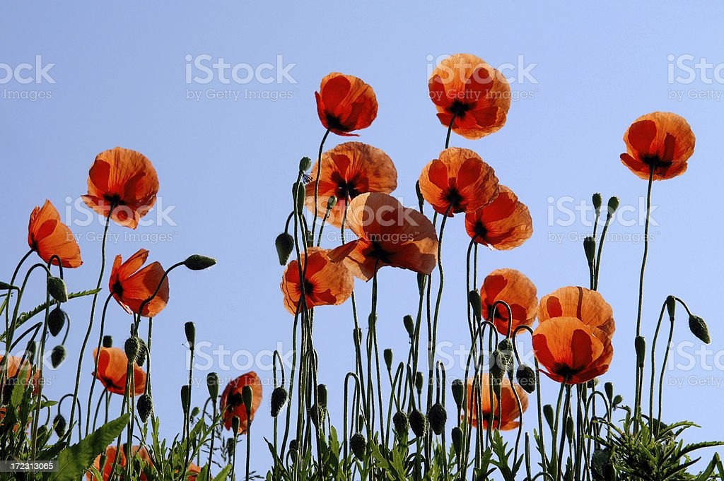 Poppy in the counter-light royalty-free stock photo