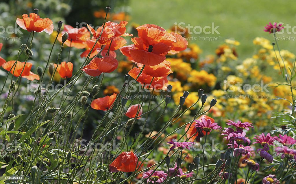 Poppy in the flowerbed royalty-free stock photo