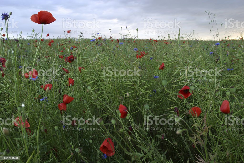 poppy in the grass royalty-free stock photo