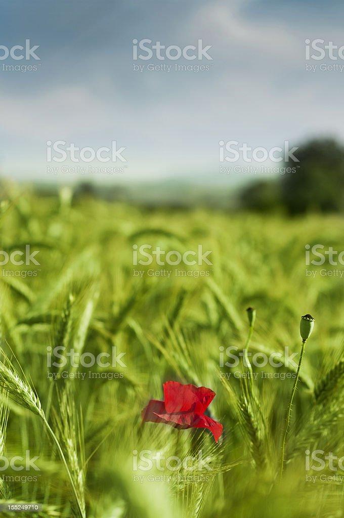 Poppy in wheat royalty-free stock photo