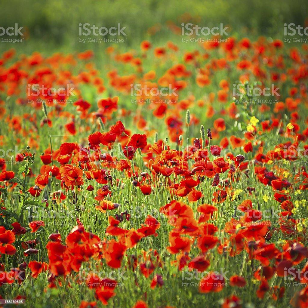 Poppy Landscape field royalty-free stock photo