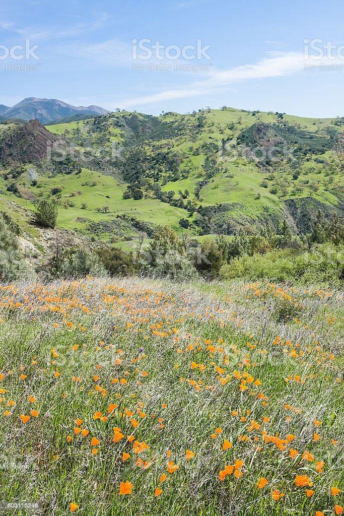 Poppy Landscape stock photo