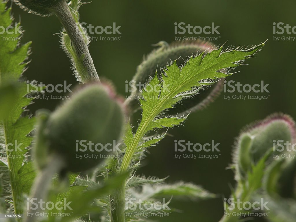 Poppy leaf in the backlight royalty-free stock photo