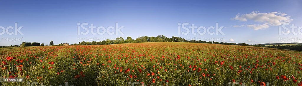 Poppy madness. royalty-free stock photo