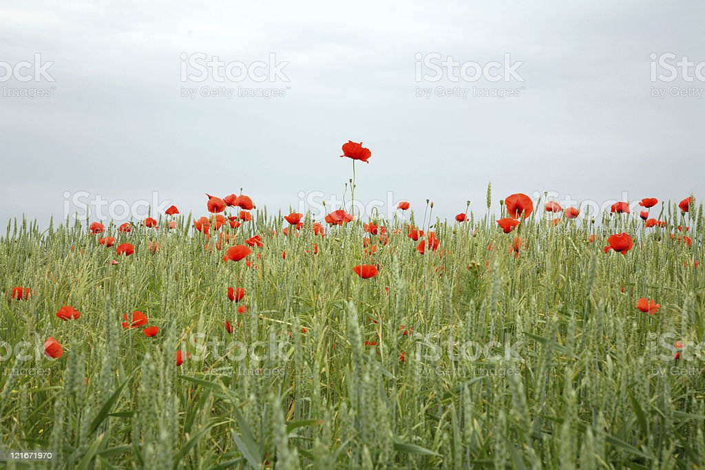 Poppy meadow royalty-free stock photo