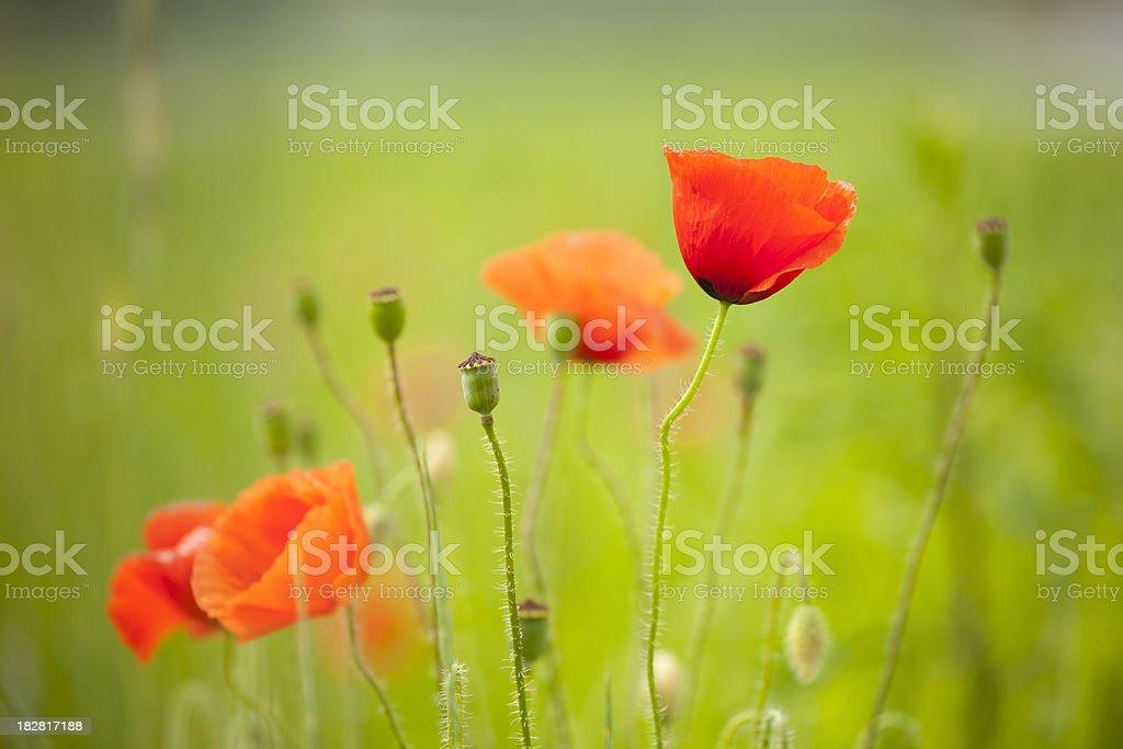 Poppy meadow royalty-free stock photo