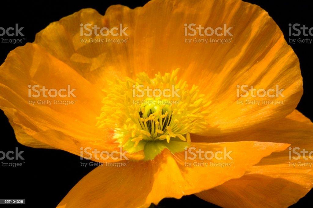 Poppy; Meconopsis; cambrica stock photo