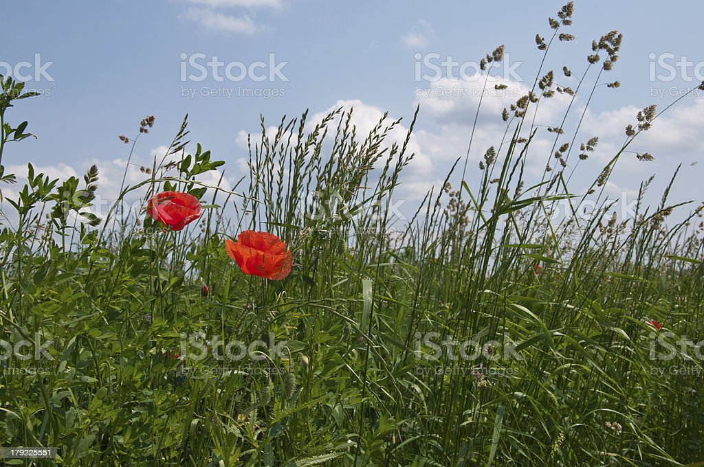 Poppy on a meadow royalty-free stock photo