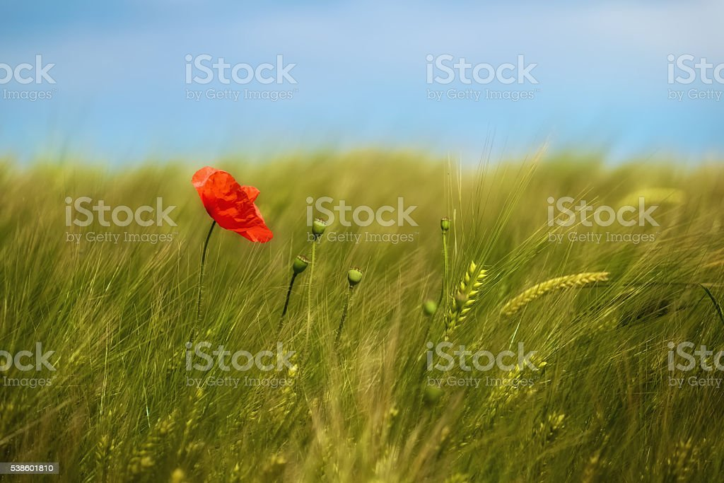 Poppy on a summer meadow background stock photo