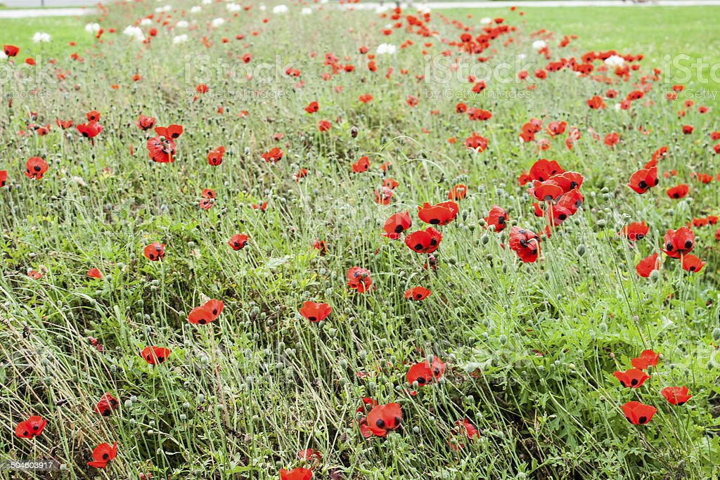 Poppy or poppies world war one in belgium flanders fields stock photo