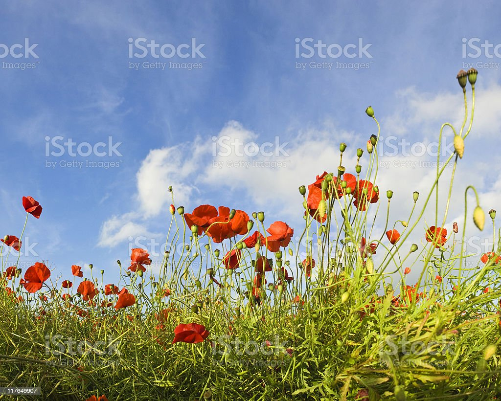 Poppy panorama. royalty-free stock photo