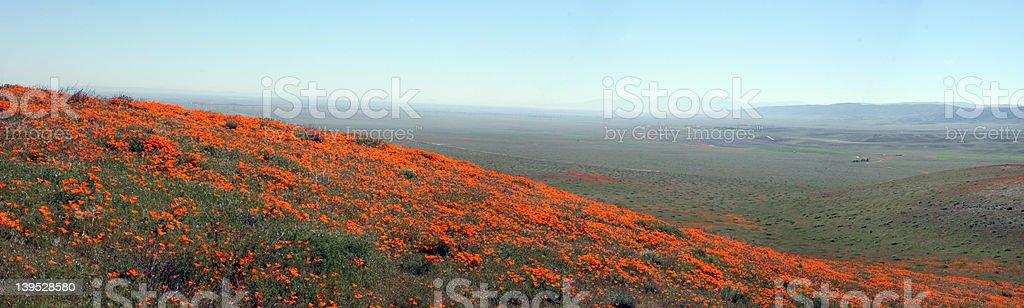 Poppy Panorama royalty-free stock photo