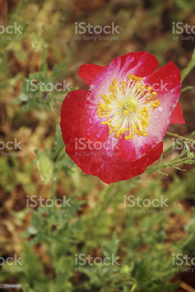 Poppy Papaver Red Flower Blossom royalty-free stock photo