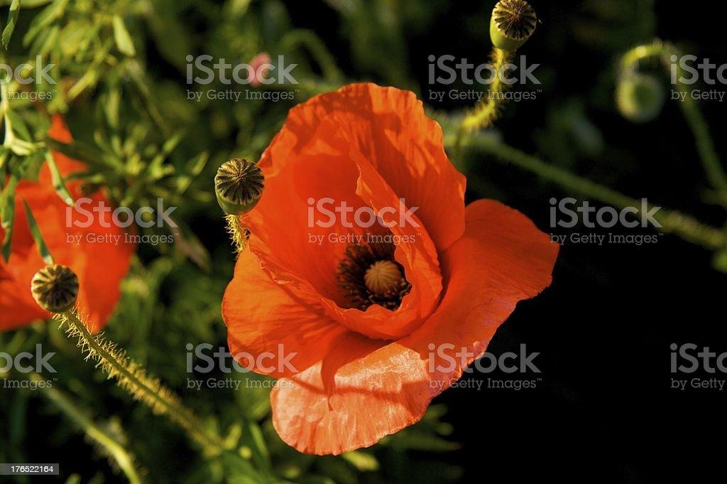poppy, papavero royalty-free stock photo