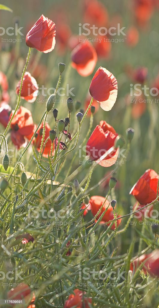 Poppy party. stock photo