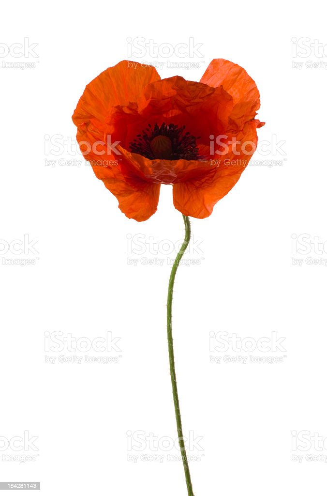 Poppy. stock photo